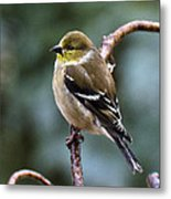 Finch In An Ice Storm Metal Print