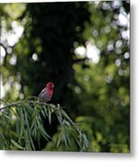 Finch In The Willow Metal Print