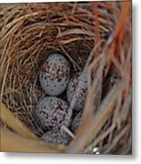 Finch Nest With Eggs  Metal Print