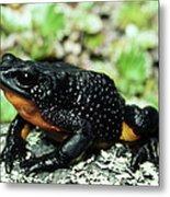 Fire-bellied Frog Atelopus Ignescens Metal Print