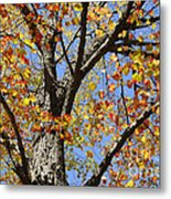 Fire Maple Metal Print