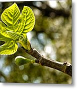 First Leaves And Fig  Metal Print