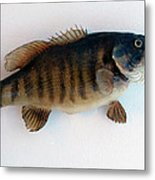 Fish Mount Set 10 A Metal Print