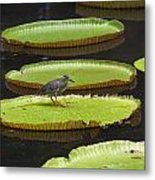 Fisher Bird On Giant Lily Pad In Pond Metal Print