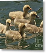 Five Baby Geese Swimming Metal Print