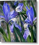 Flag Irises (iris Missouriensis) Metal Print