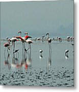 Flamingos In Magadi Metal Print