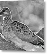 Fledgeling In Oak Tree Bw Metal Print by Lynda Dawson-Youngclaus