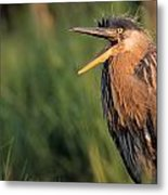 Fledgling Great Blue Heron Metal Print