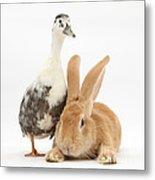Flemish Giant Rabbit And Call Duck Metal Print