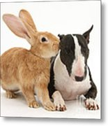 Flemish Giant Rabbit And Miniature Bull Metal Print