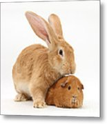 Flemish Giant Rabbit With Red Guinea Pig Metal Print