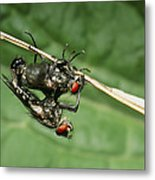 Flies Mating Metal Print