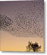 Flock Of European Starlings Metal Print