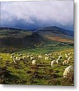 Flock Of Sheep Grazing In A Field Metal Print