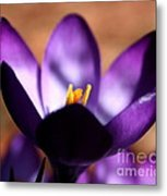 Catching Crocus  Metal Print