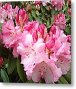Floral Rhodies Photography Pink Rhododendrons Prints Metal Print by Baslee Troutman