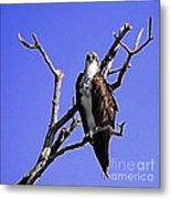 Florida Osprey Metal Print