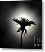 Flower In Backlight Metal Print
