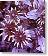 Flower Rudbeckia Fulgida In Uv Light Metal Print