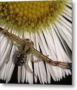 Flower Spider On Fleabane Metal Print