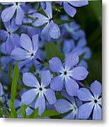 Flower Wild Blue Phlox 1 B Metal Print