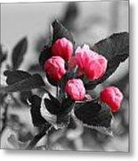 Flowering Crabtree In Select Color Metal Print by Mark J Seefeldt