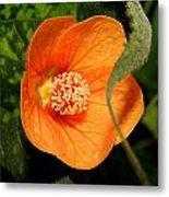 Flowering Maple Single Flower 2 Metal Print