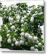 Flowering Snowball Shrub Metal Print
