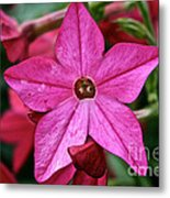 Flowering Tobacco Metal Print