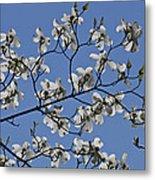 Flowering White Dogwood Metal Print