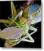 Fly Eating Another Fly, Sem Metal Print by Volker Steger