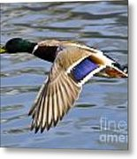 Flying Duck Metal Print
