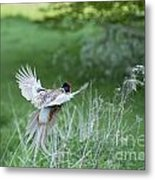 Flying Pheasant Metal Print