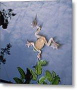 Foam Nest Tree Frog Polypedates Dennysi Metal Print by Mark Moffett