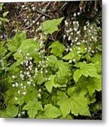 Foamflower (tiarella Trifoliata) Metal Print