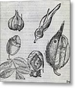 Foetal Plants, 16th Century Artwork Metal Print