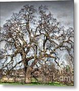 Folsom Oak Tree Metal Print