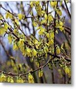 Forsythia 'minigold' Flowers Metal Print