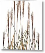 Fountain Grass In White Metal Print by Steve Gadomski