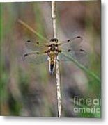 Four-spotted Chaser Dragonfly 3 Metal Print