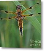 Four-spotted Chaser Dragonfly 4 Metal Print