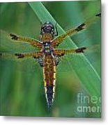 Four-spotted Chaser Dragonfly 5 Metal Print