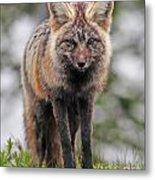 Fox Near Reflection Lake Metal Print