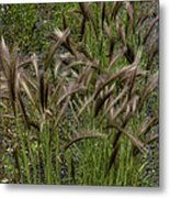 Fox Tail Grass Metal Print by Grover Woessner