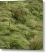 Foxtail Barley And Western Wheatgrass Metal Print