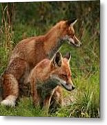 Foxy Pair Metal Print by Jacqui Collett