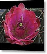 Framed Fuchsia Cactus Flower Metal Print