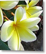 Frangipani Up Close Metal Print