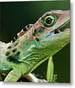 Frasers Anole Anolis Fraseri Male Metal Print